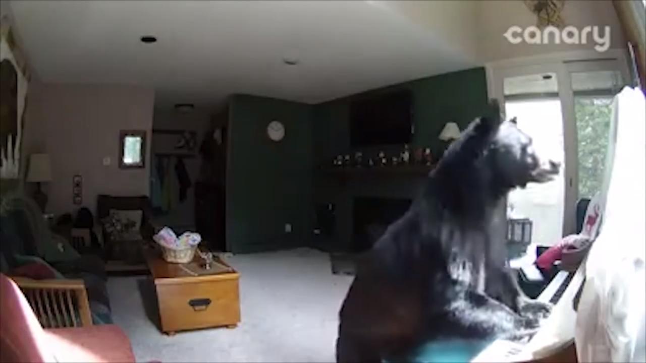 Медведь забрался в дом и попытался сыграть на пианино