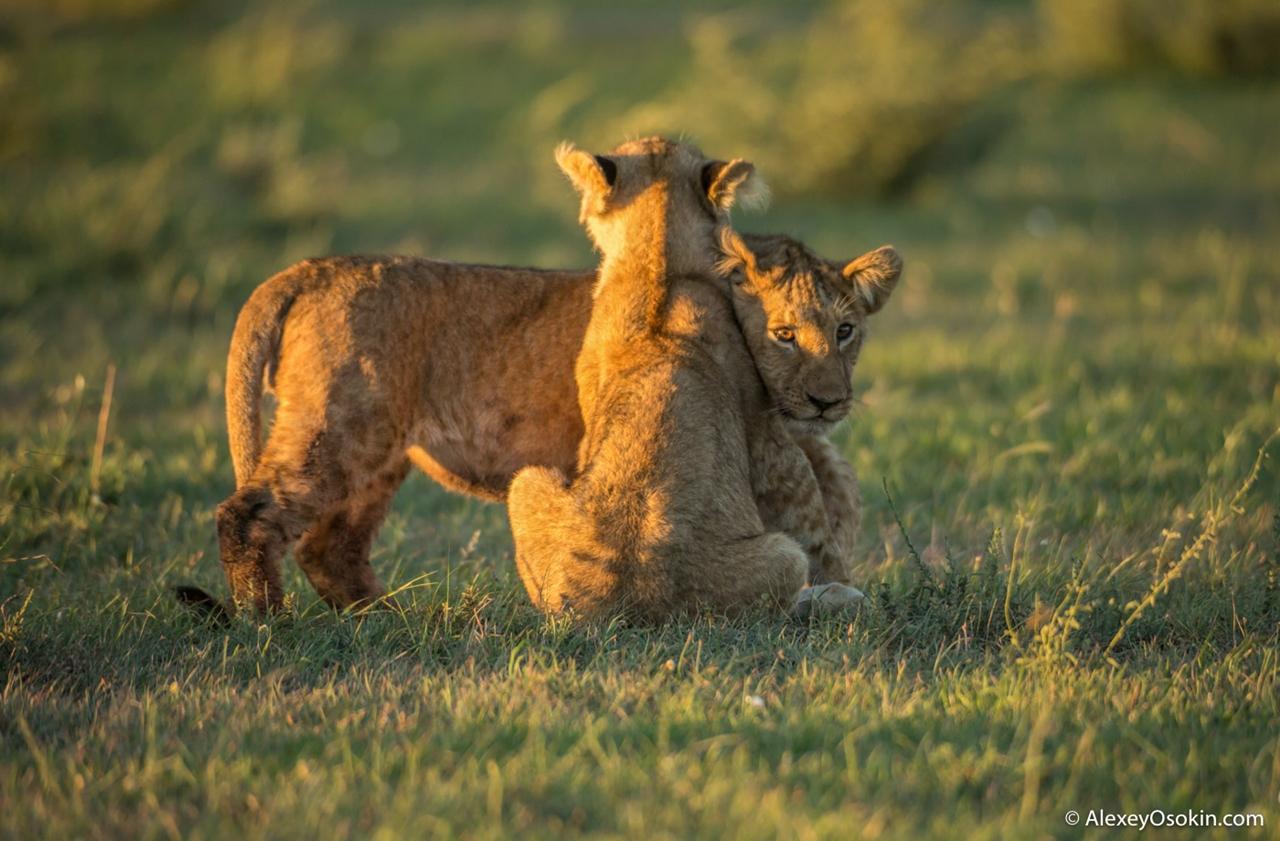 Два неугомонных брата из львиного царства…