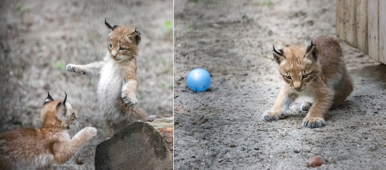 В Новосибирском зоопарке у семейства рысей пополнение