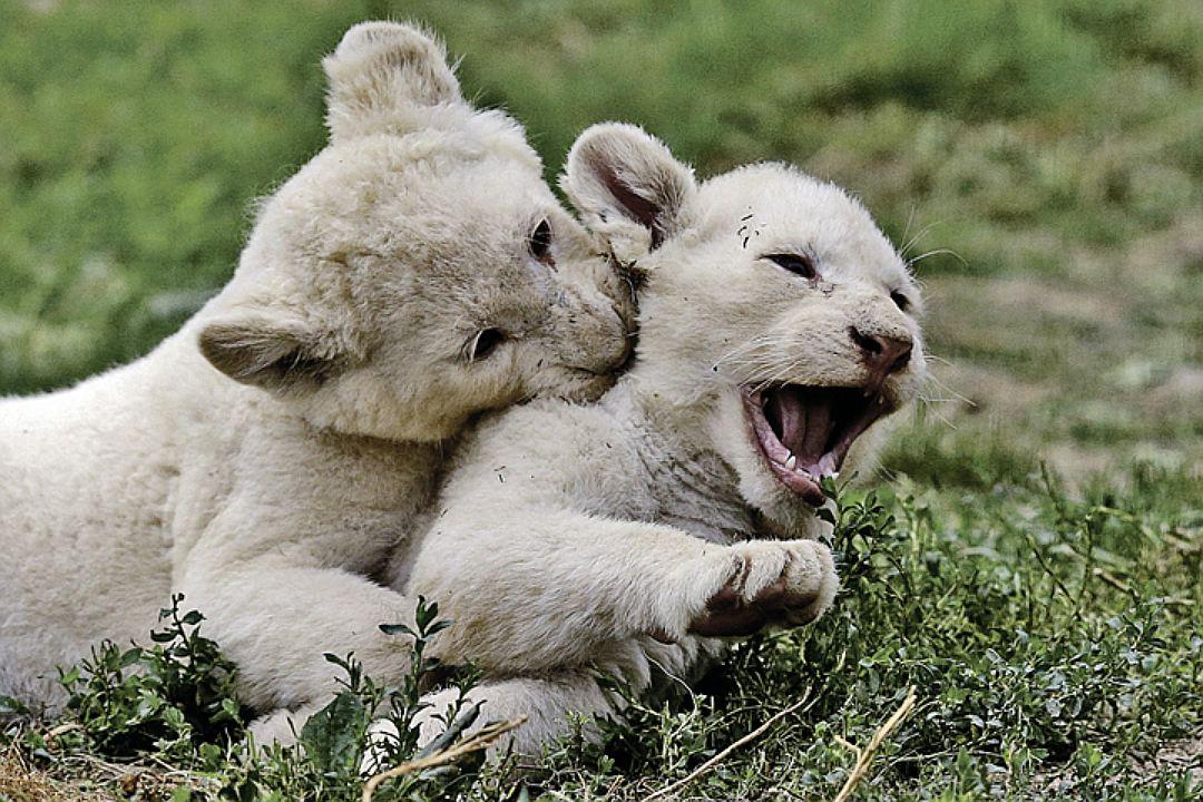 В чешском зоопарке родились пять белых львят