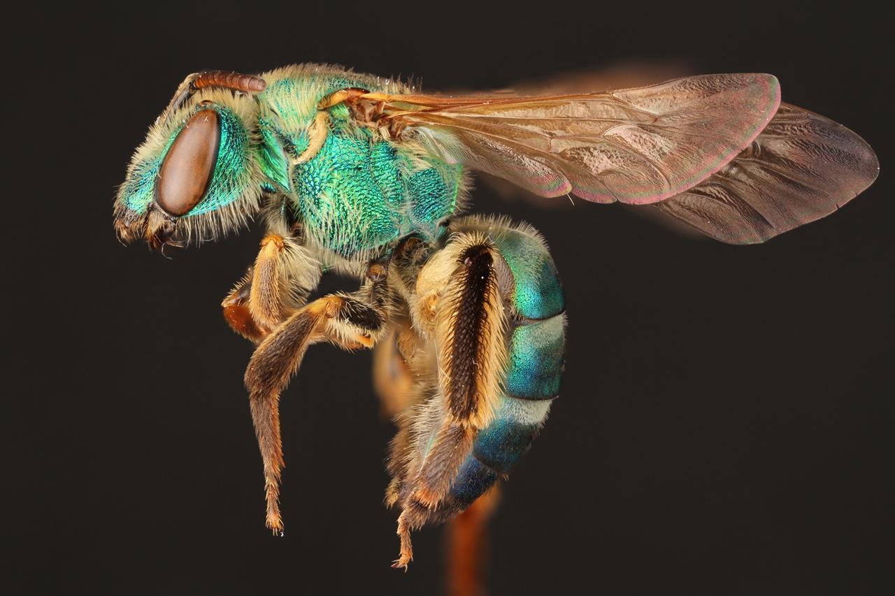 Макрофотографии пчёл