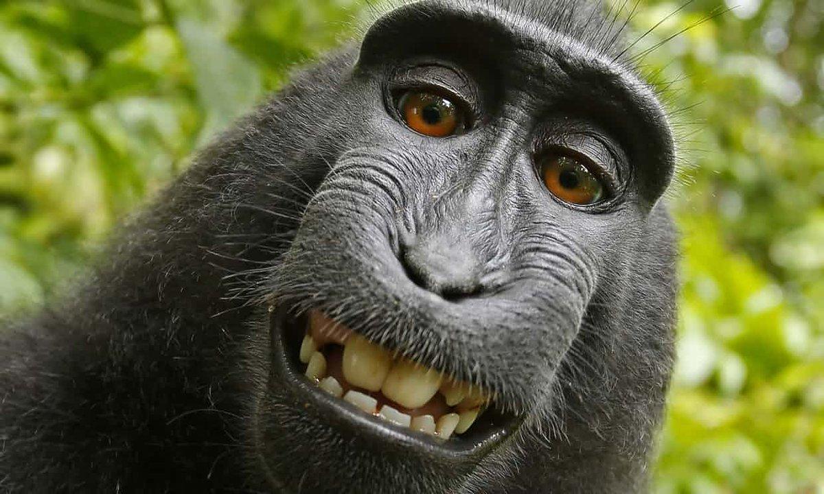 Фотограф разорился, судясь с обезьяной за авторское право на её снимок