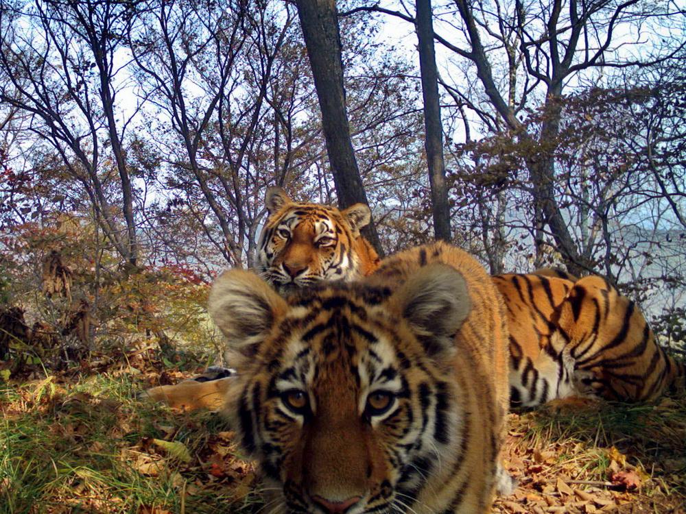 Трогательная фотосессия семейства амурских тигров