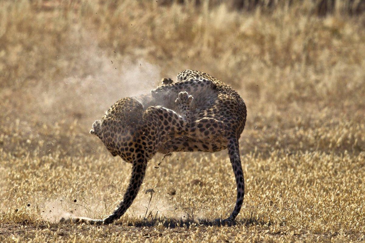 Свирепая схватка леопардов