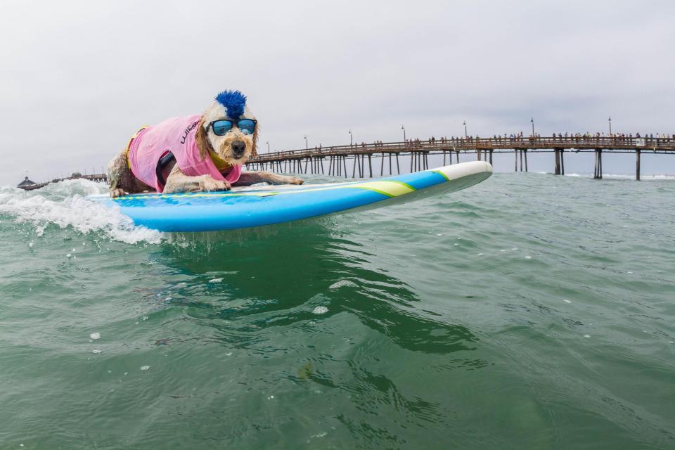 Ежегодные соревнования по серфингу среди собак в Калифорнии