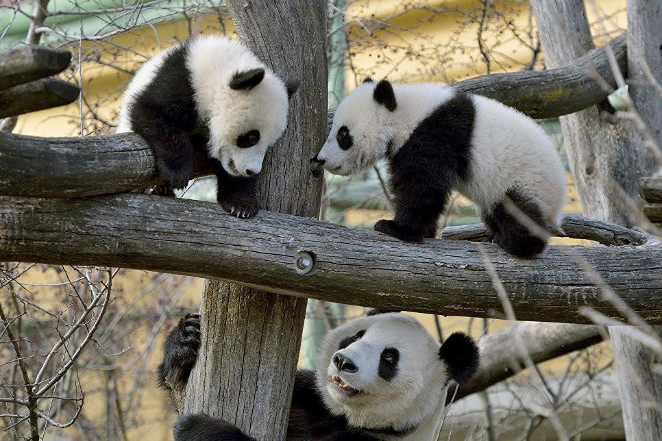 В зоопарке Вены панды-близнецы отпраздновали свой первый день рождения