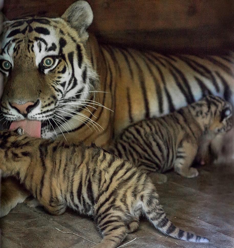 В зоопарке Барнаула появились на свет амурские тигрята