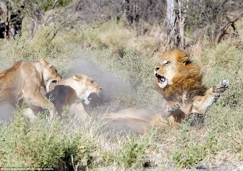 Львицы проучили «загулявшего» льва