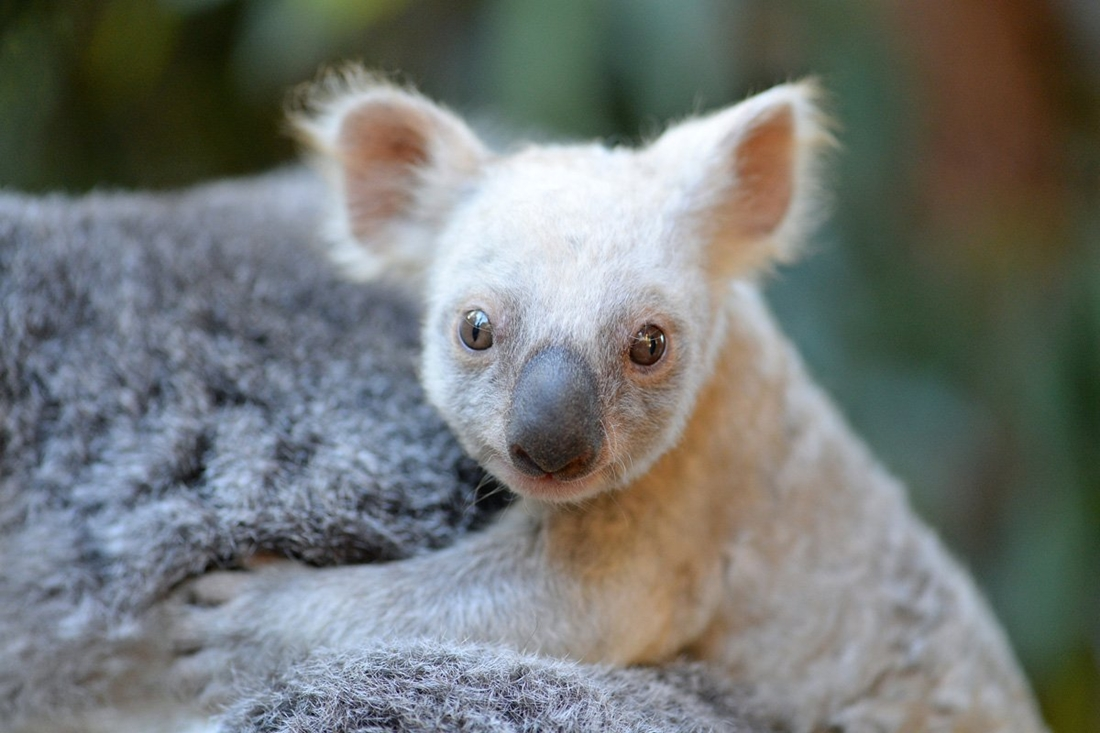 Редкая белая коала появилась на свет в зоопарке Австралии