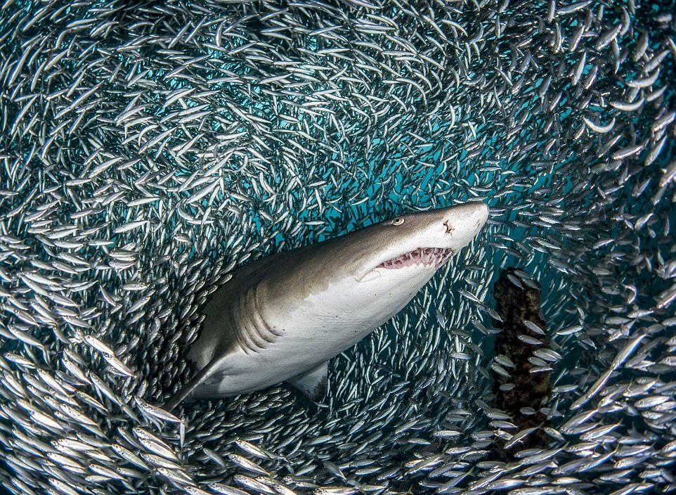 Удивительные кадры: тигровые акулы проплывают через косяк рыб
