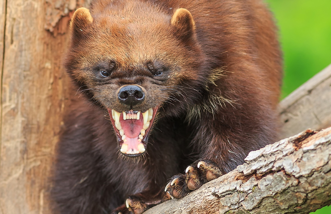 Победить или умереть! О самом агрессивном и безбашенном звере в России…