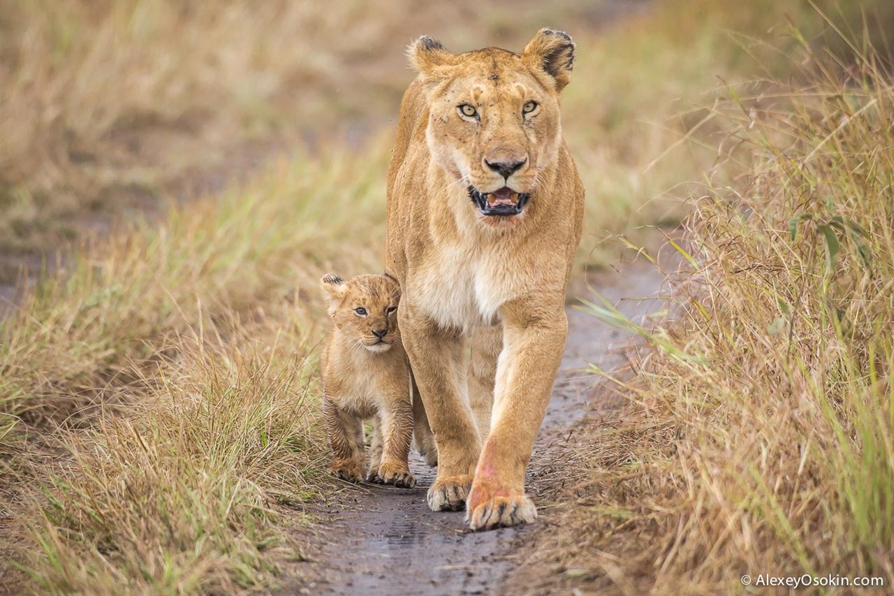 Африканские львы. Четыре года съемок