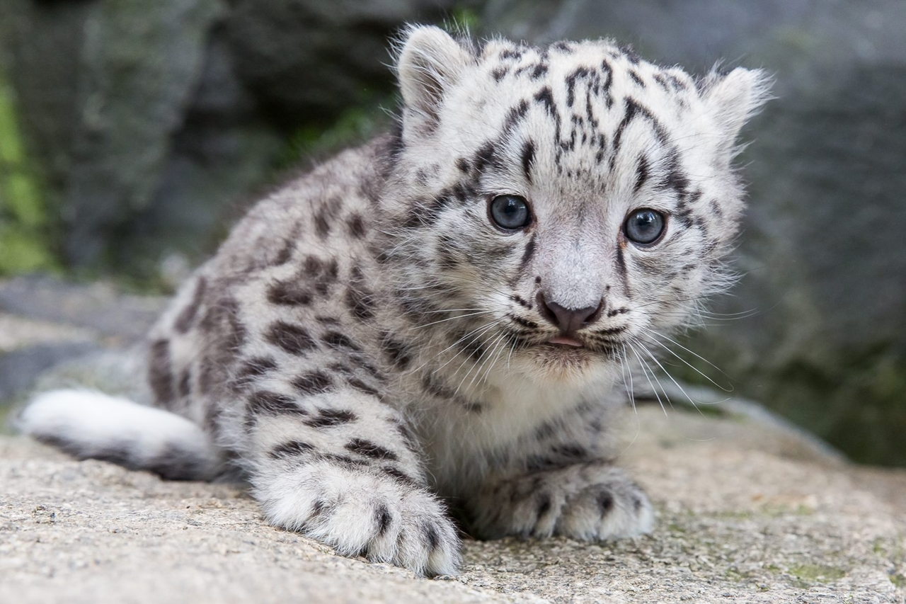 Берлинский зоопарк показал фото детеныша снежного барса