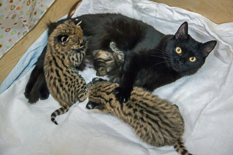 В новосибирском зоопарке две кошки выкормили котят сервала, каракала и лесного кота