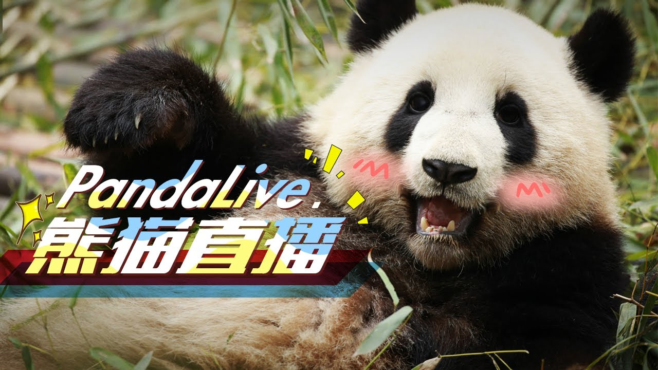 HD Panda Live: панды в прямом эфире 24 часа в сутки и 7 дней в неделю
