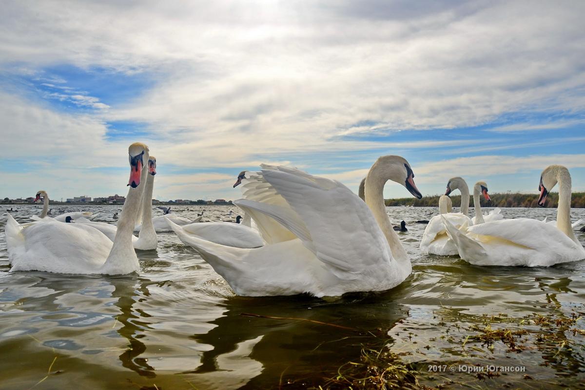 Лебеди Крыма