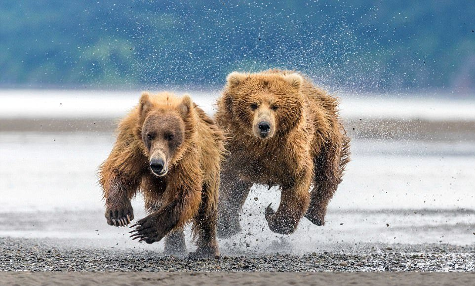Мама-медведица защитила медвежат от незваного гостя