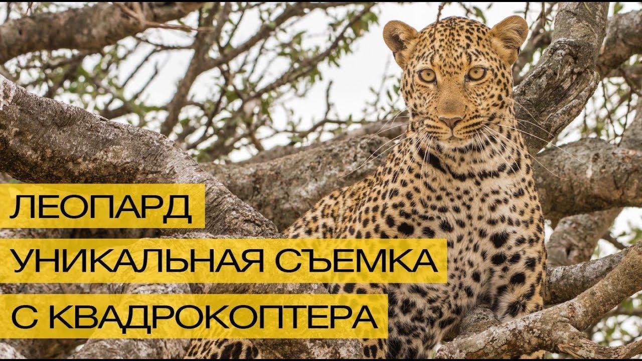 Уникальное видео: съемка леопарда в дикой природе с квадрокоптера