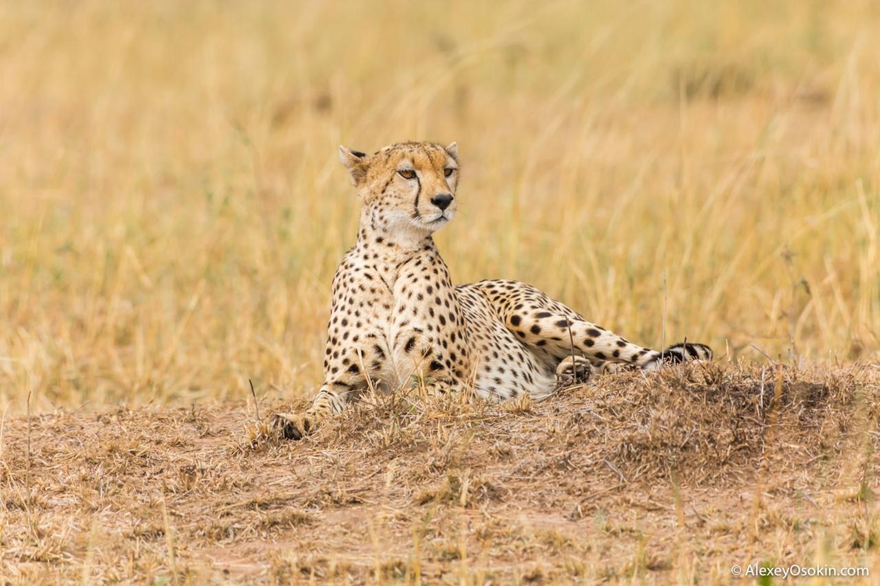 Привлекательные африканочки из мира дикой природы