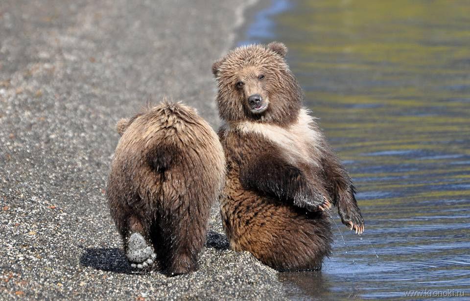 Медвежонок в «белом шарфике» стал звездой Южно-Камчатского заказника