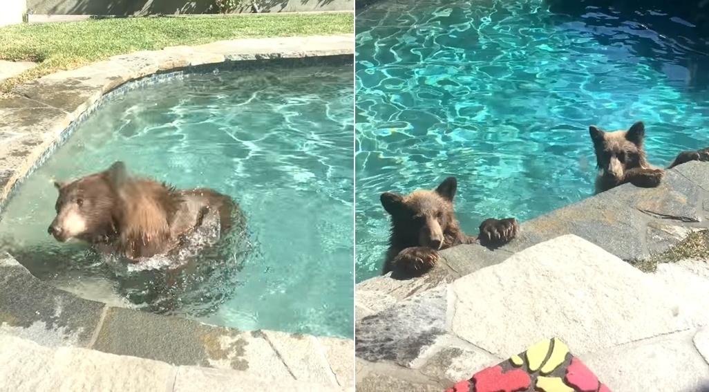 Медведица с медвежатами искупались в бассейне американской семьи