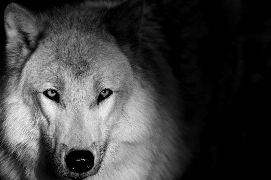 Черно-белые фотопортреты животных сделанные в зоопарках