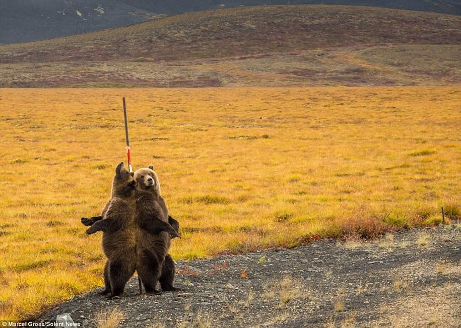 Медведи Гризли исполнили «танец» у шеста