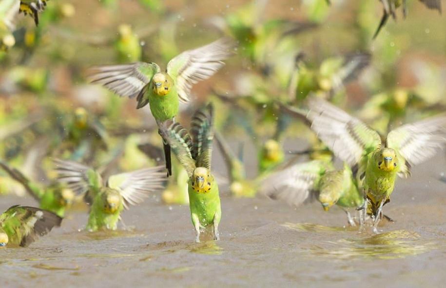 Впечатляющее зрелище: 10 000 волнистых попугайчиков на водопое