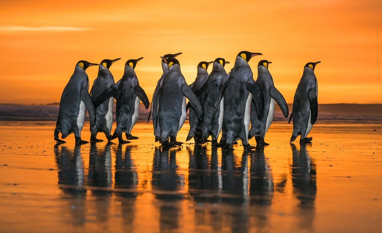 Королевские пингвины в золотых лучах рассвета