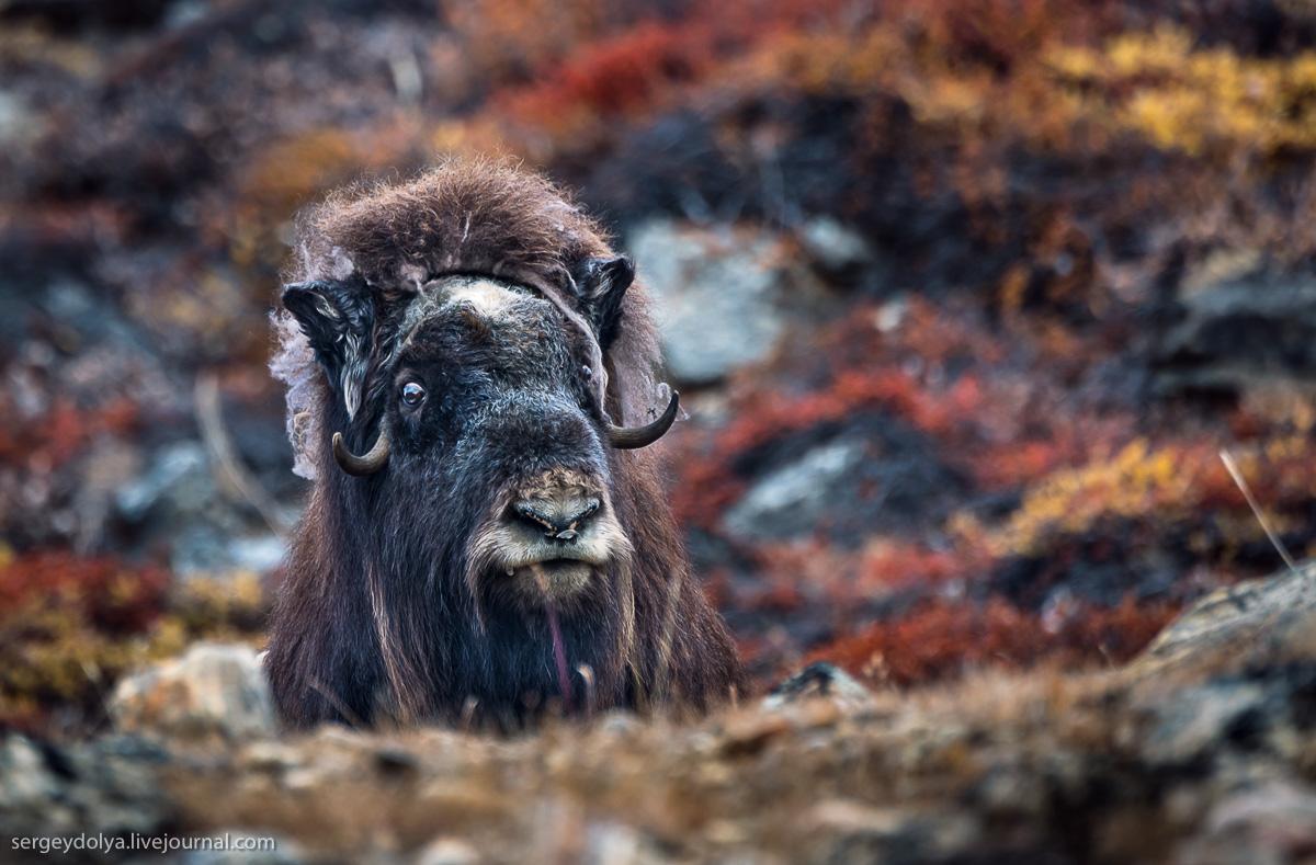 Овцебыки в Гренландии