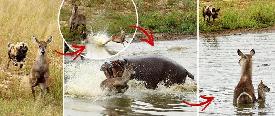 Борьба за жизнь: антилопы убежали от диких собак, избежали зубов крокодила и гиппопотама