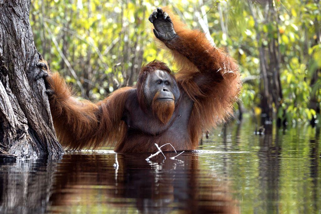 Очень редкие кадры орангутанга в воде