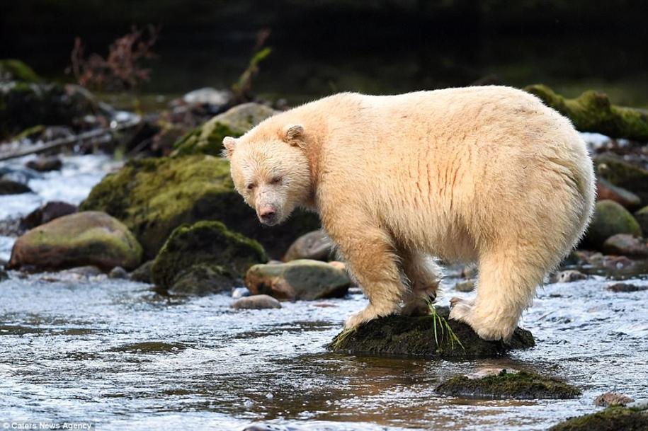 «Призрак леса»: кермодский медведь попал в объектив фотографа
