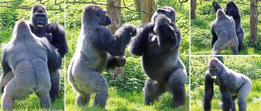 Гориллы-боксеры вышли на бой в зоопарке Великобритании