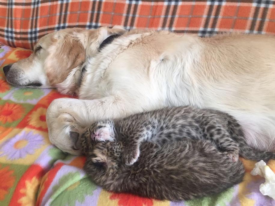 В приморском зоопарке «Садгород» новорожденных леопардиков выкармливает собака