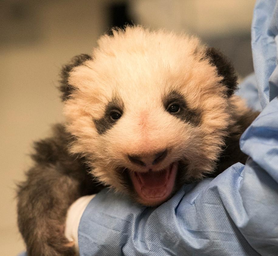 Первый рожденный во Франции детеныш гигантской панды