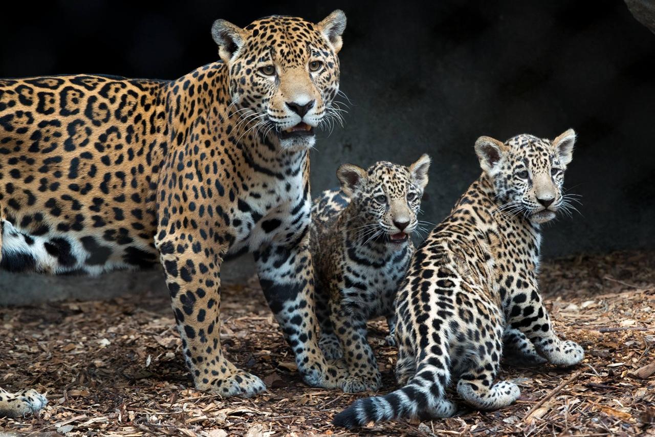 Первое появление на публике малышей ягуара в зоопарке Хьюстона