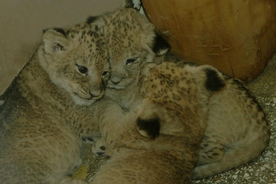 Зоопарк Екатеринбурга опубликовал первые фото новорожденных львят