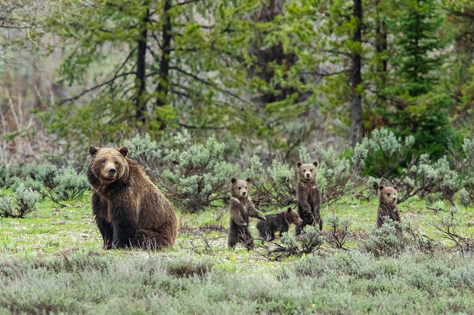 Медведица супер-мама родила 17 медвежат