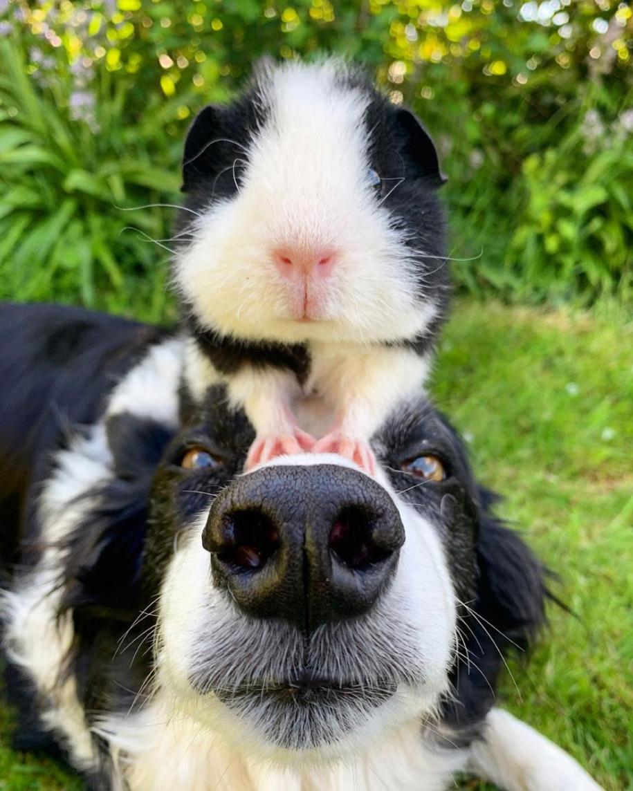 О морских свинках и собаках