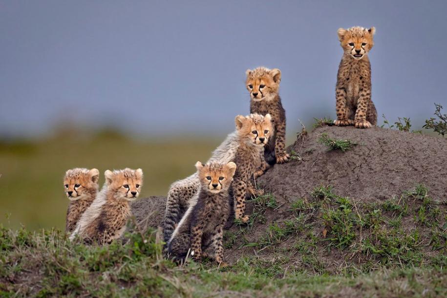 Удивительные фотографии гепардов
