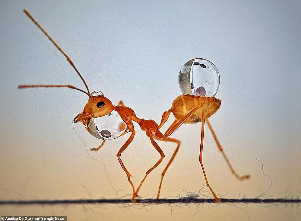 Невероятные фотографии муравьев-«жонглеров»