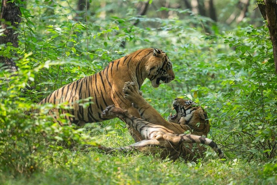 Бой тигров в национальном парке Рантхамбор