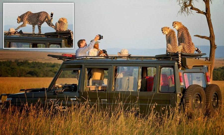 Пара гепардов забралась на крышу автомобиля туристов