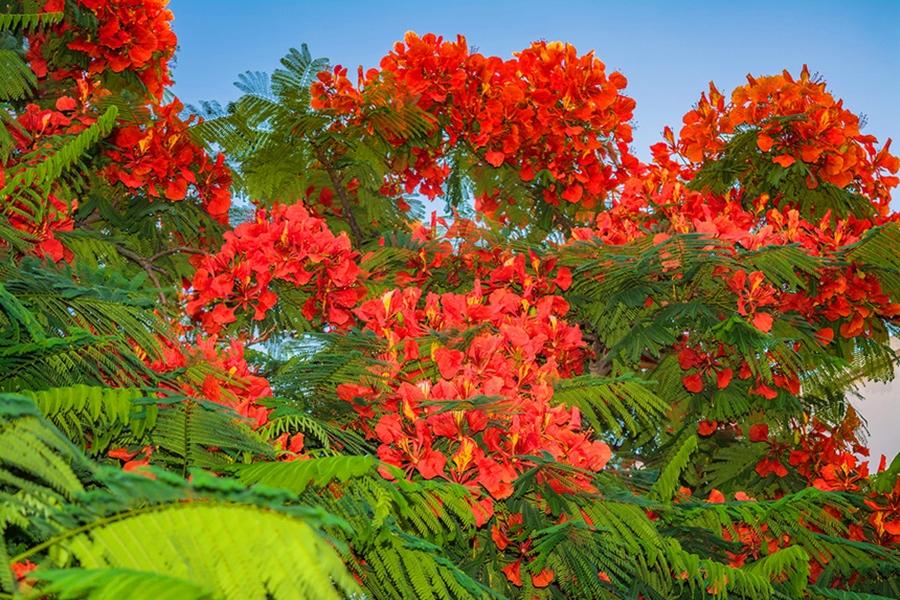 Делоникс королевский — одно из красивейших цветущих деревьев на Кипре