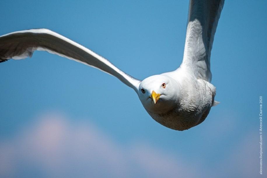 Чайки архипелага Ушканьих островов