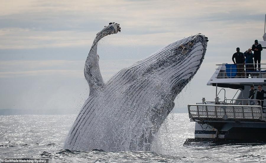 Горбатые киты устроили потрясающее представление