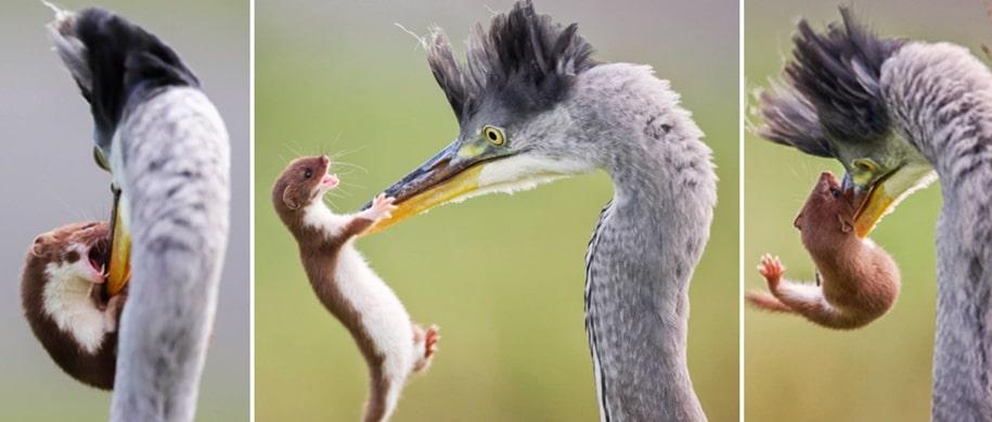 Давид против Голиафа: ласка сумела вырваться из клюва цапли