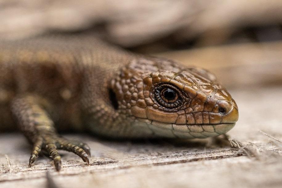 Ящерки в Забайкальском национальном парке