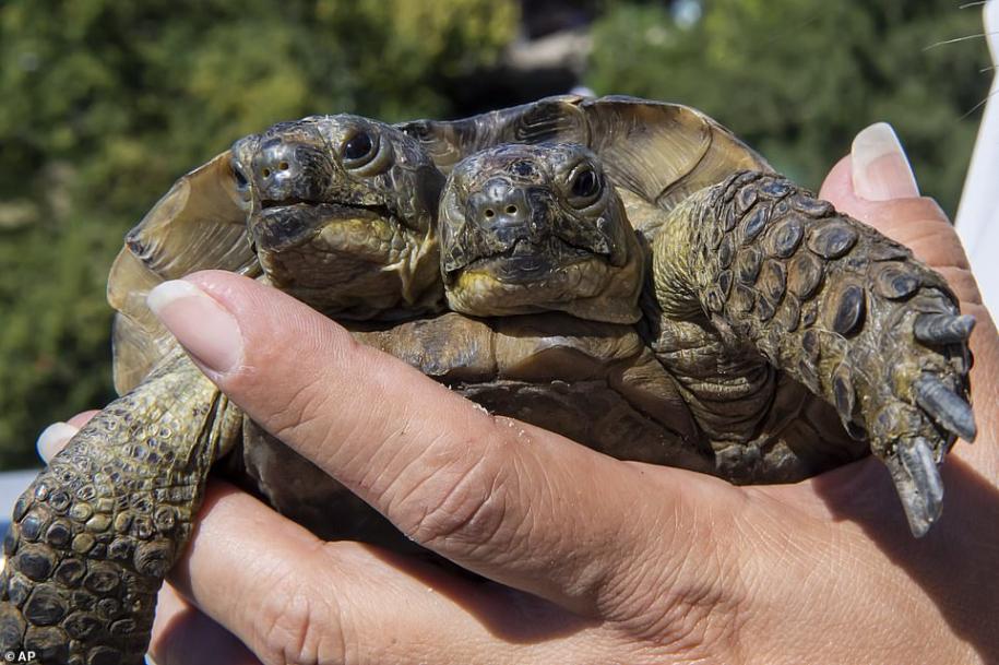 Двуглавая черепаха